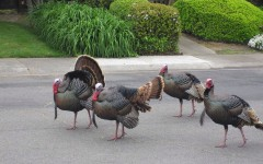 The Turkeys of American River Drive